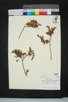Flourensia cernua image