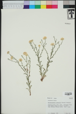 Machaeranthera scabrella image