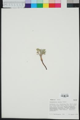 Lesquerella valida image