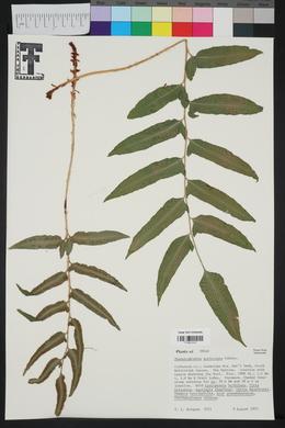 Phanerophlebia auriculata image