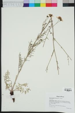 Hymenopappus biennis image