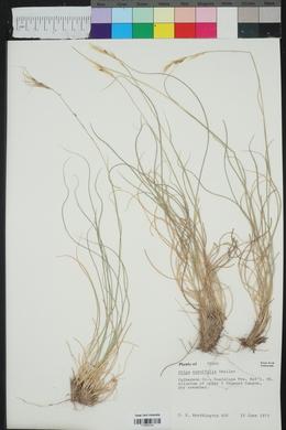 Achnatherum curvifolium image